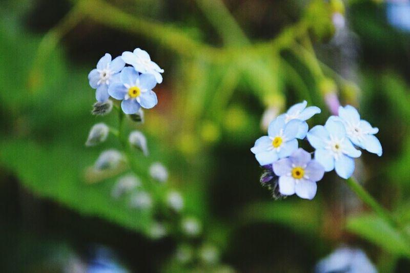 blu flowas
