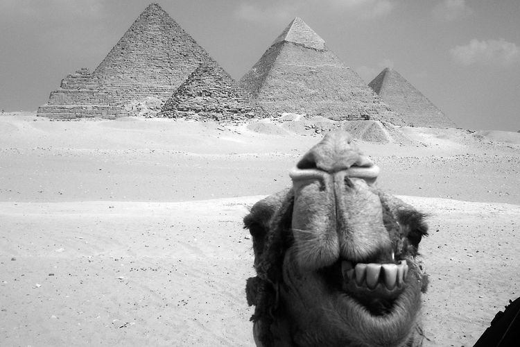Camel smile at Pyramid, Egypt. Animal Animal Smile Animal Themes Architecture Black And White Building Exterior Built Structure Camel Close-up Day Domestic Animals Eygptian Livestock No People Outdoors Pyramids At Giza Sky Smiling Teeth