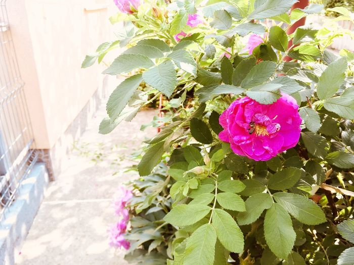 Roses Plant Growth Flowering Plant Flower Leaf Plant Part Freshness Nature Day Close-up Fragility Beauty In Nature No People Vulnerability  Pink Color Petal Sunlight Flower Head Outdoors Built Structure