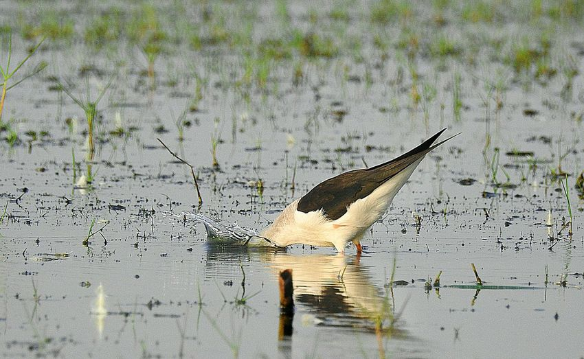 Splash ...black winged stint Abstract Photography Birds🐦⛅ Bird Photography Birds Of EyeEm  Birdwatching Birds_collection Bird Watching Birding Birdfreaks Birdporn Birdsofinstagram Birdhouse Birds Wildlife Birdstagram Birdy BIRDHABITAT, Birdlife🕊 Birdsofodisha