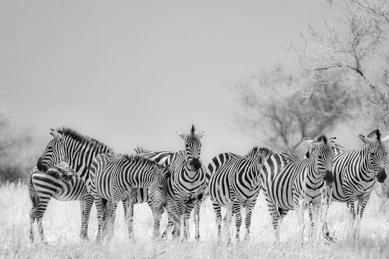 Africa Blackandwhite Photography Nature No People Outdoors Tanzania, Tarangire Tranquility Wildlife Photography Zebras