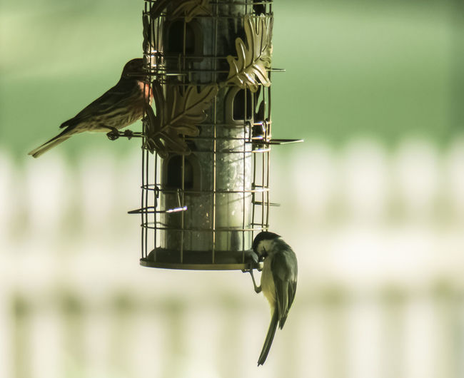 I love all kinds of wildlife. I took this picture with a Nikon D810 and a 400mm lens. Birds🐦⛅ Animal Animal Themes Animal Wildlife Animals In The Wild Bird Bird Feeder Bird Feeder Hanging Birds Close-up Day Focus On Foreground Green Color Hanging Metal Nature No People One Animal Outdoors Perching Selective Focus Vertebrate Summer Road Tripping The Great Outdoors - 2018 EyeEm Awards The Portraitist - 2018 EyeEm Awards The Photojournalist - 2018 EyeEm Awards