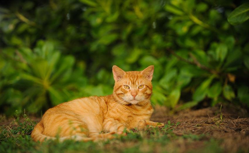 Portrait of tabby cat lying on field