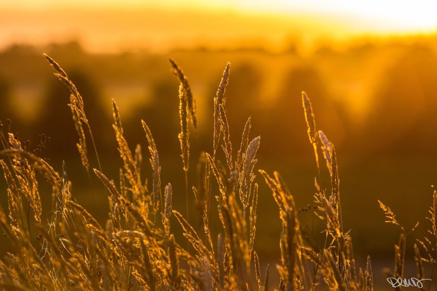 EyeEm Selects Grass Sunset No People Outdoors Growth Tranquility Focus On Foreground Agriculture Beauty In Nature Cereal Plant Robert DuVernet Photography
