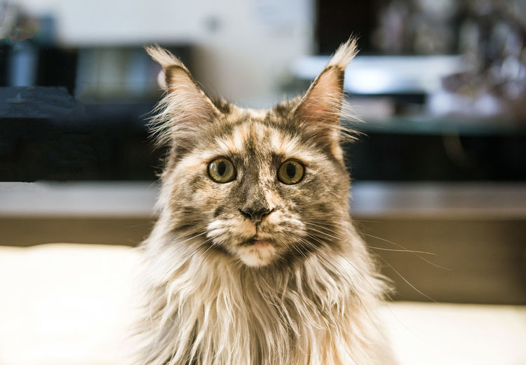Animal Animal Body Part Animal Eye Animal Hair Animal Head  Animal Themes Cat Close-up Domestic Domestic Animals Domestic Cat Feline Focus On Foreground Hair Looking At Camera Mammal No People One Animal Pets Portrait Vertebrate Whisker