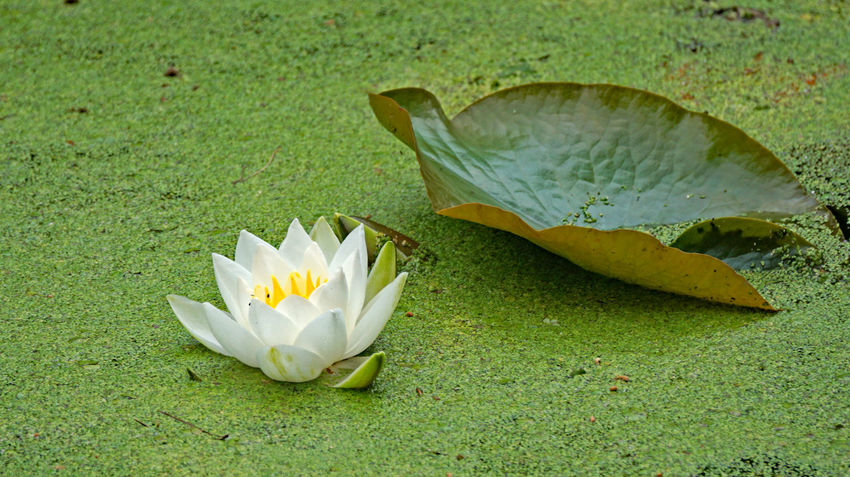 Beauty In Nature Close-up Day Floating On Water Flower Flower Head Flowering Plant Fragility Freshness Green Color Growth High Angle View Leaf Leaves Nature No People Outdoors Plant Plant Part Pond Vulnerability  Water Lily