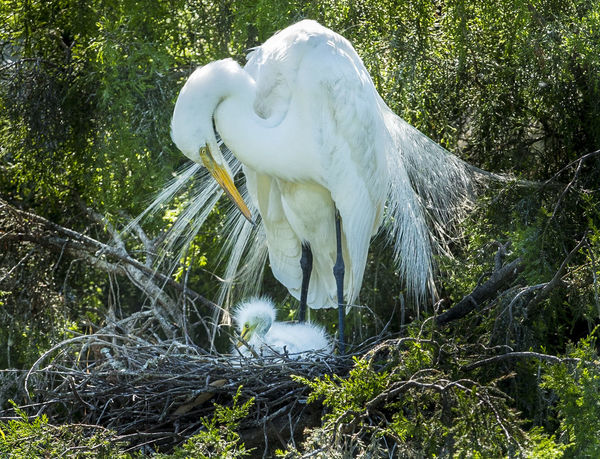 Animal Themes Animal Wildlife Animals In The Wild Beak Bird Day Egret Egret With Babies Great Egret Green Color Growth Nature No People One Animal Outdoors Perching Tree White Color
