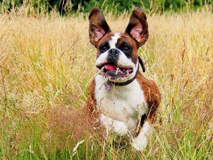 Close-up of dog standing at grassy field