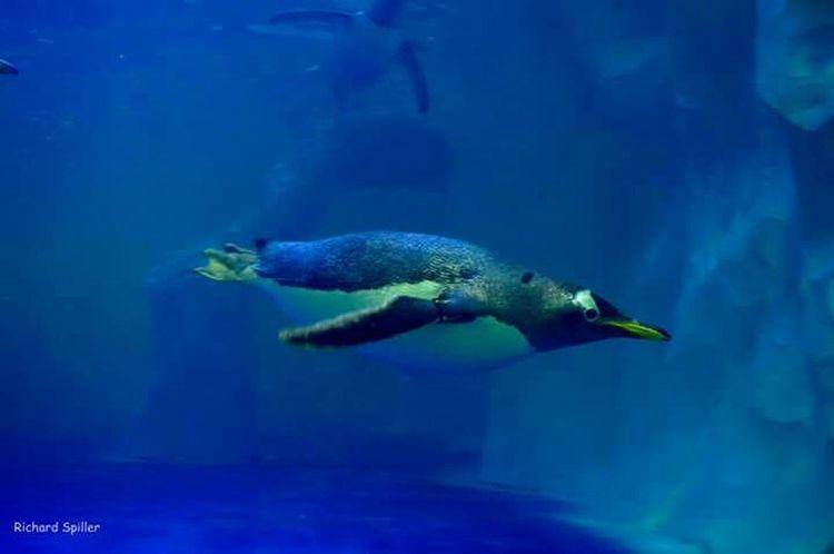 Sealifeaquarium Sealife Peguin Nikon D3200 Swimming Blue Peguins Amazing Beautiful Nature Bestoftheday