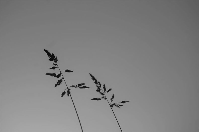 Plant against a clear sky. Plant Growth Sky Clear Sky Copy Space Nature Beauty In Nature No People Two Plants Day Outdoors Blackandwhite Low Angle View Focus On Foreground Side View Backgrounds The Minimalist - 2019 EyeEm Awards