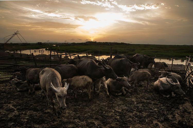 Herd of sheep on field during sunset
