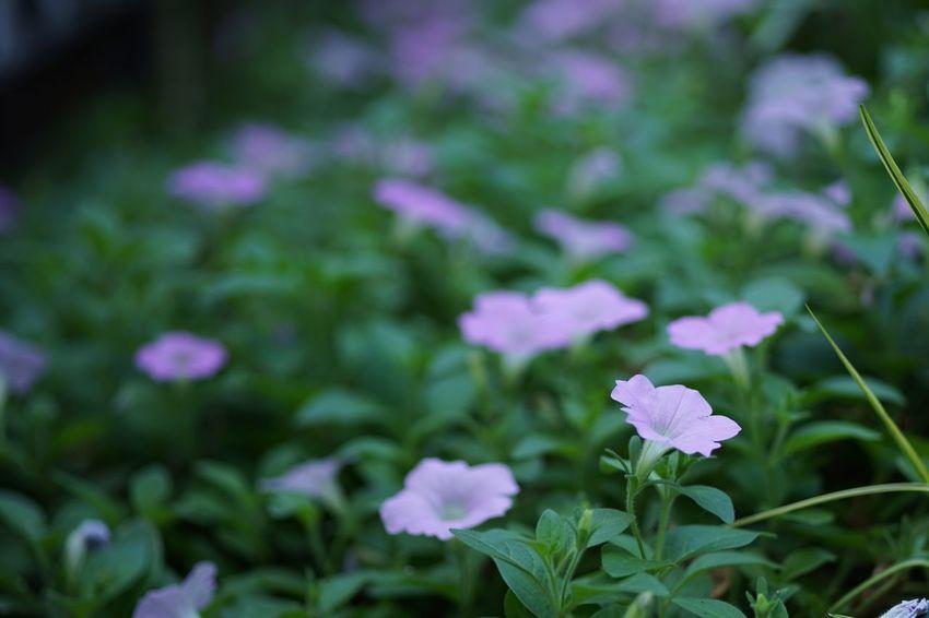 Petunia Fragility Transience Flower Nagatacho Chiyoda Tokyo Plant Masako201709 105mm Micronikkor SONY A7ii Ai Micro Nikkor 105mm F2.8