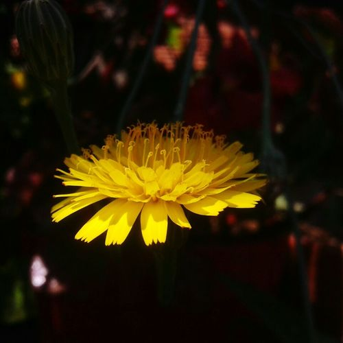Yellow Flower Dintedeleon Light And Shadow Beautiful Day Flowers,Plants & Garden Flower Photography