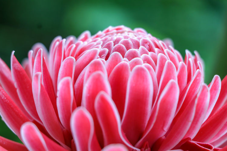 DALA flowers in Thai language Flower Head Flower Pink Color Red Petal Springtime Close-up Plant Blooming Eastern Purple Coneflower Gerbera Daisy Stamen Chrysanthemum In Bloom Daisy Lily Botany Blossom Pollen Dahlia Coneflower Day Lily Zinnia  Plant Life