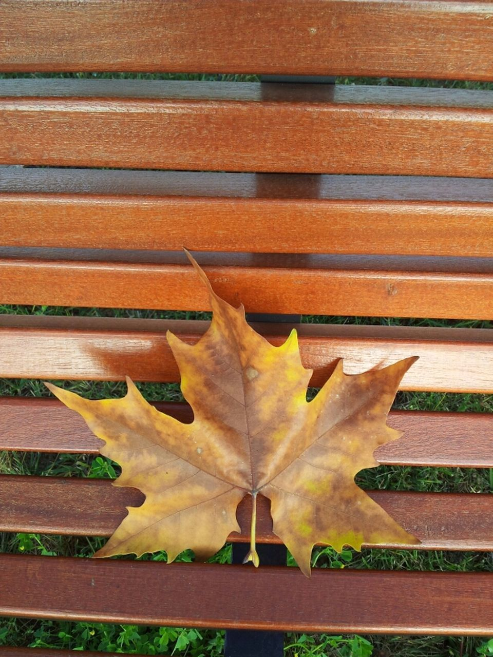 leaf, autumn, day, outdoors, change, no people, close-up, maple, nature