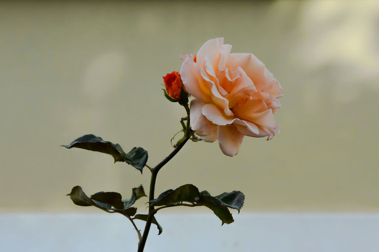 Beauty In Nature Close-up Day Flower Flower Head Fragility Freshness Nature Outdoors Rosé Rose - Flower