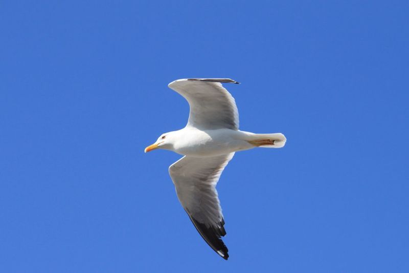 Flying Seagull Seagull Blue Sky Clear Sky Nature_collection