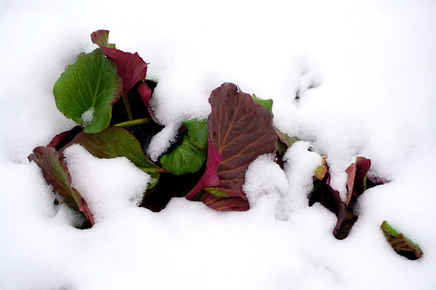 Green Plant Red Beauty In Nature Close-up Cold Temperature Day Nature No People Outdoors Snow Snow Covered Snow Covered Landscape Snowy Day White Color Winter