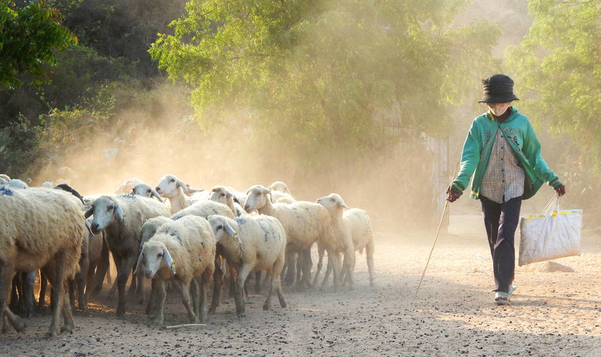 Full length of man with sheep walking on field