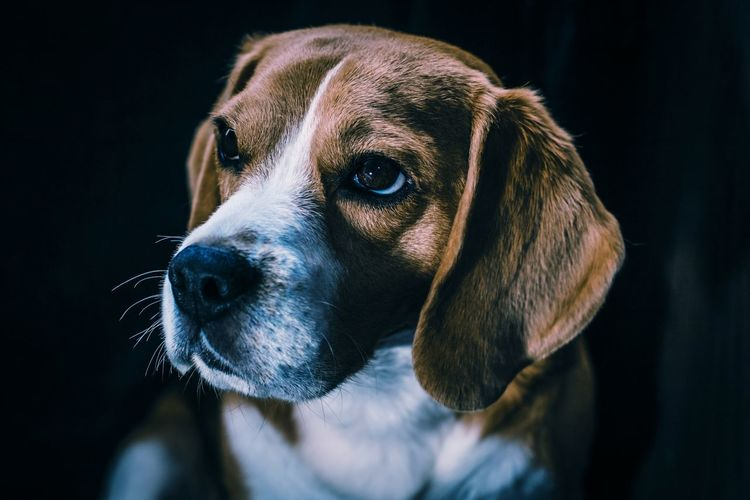 Beagle Beaglesofinstagram Dog Pets Posingforthecamera Posing Looking Domesticanimal Mammal Closeup Nopeople Outdoors Contrast Canine Lightandshadow Portrait AnimalTheme Headdog HDR Purebred Dog Light And Shadow Friendforever Pose Close-up