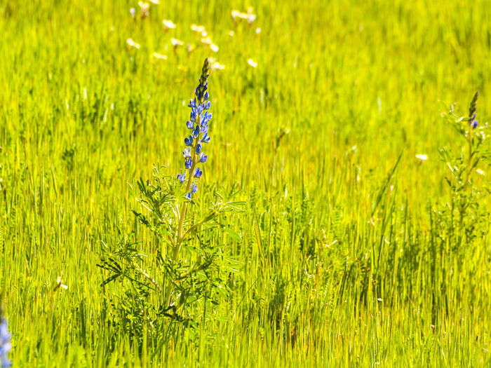 Backgrounds Beauty In Nature Close-up Day Environment Field Freshness Grass Green Color Growth Lupin Lupin Flower Lupinus Lupinus Angustifolius Meadow Meadow Flowers Nature No People Outdoors Pasture, Paddock, Grassland, Pastureland Plant Rural Scene Spring Springtime Wild Plants