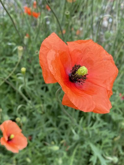 Close-up of insect on red poppy