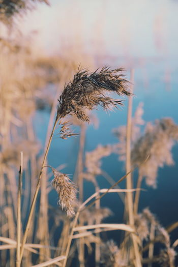 seagrass Nature Plant Cereal Plant Agriculture Growth No People Uncultivated Outdoors Focus On Foreground Close-up Rural Scene Day Wheat Beauty In Nature Sky Beauty Frost Winter Tranquility Beauty In Nature Growth Botany Landscape_Collection Plant