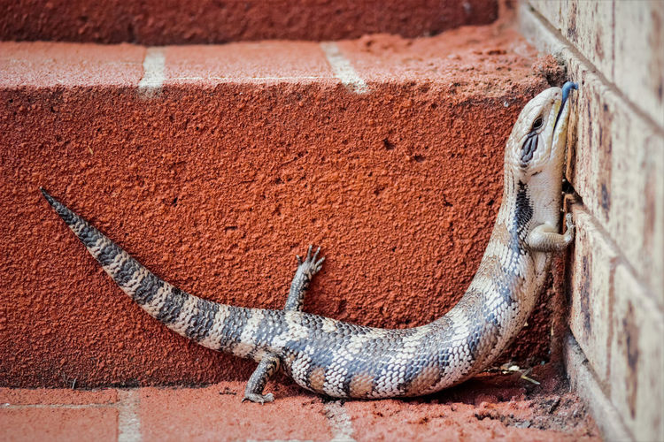 Close-up of blue tongue skink on wall