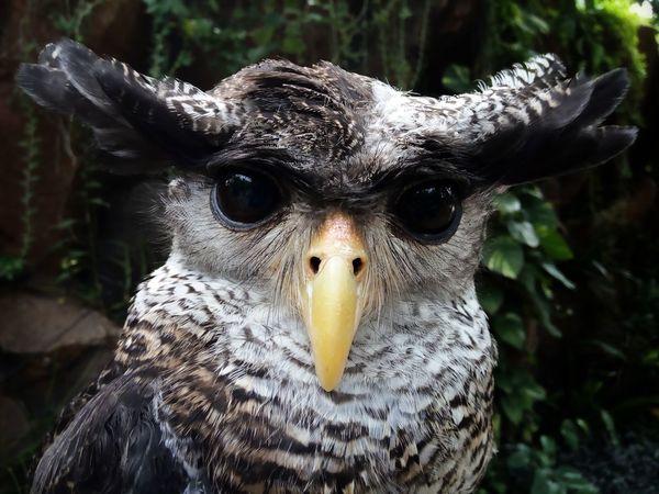 Close-up Looking At Camera One Animal Portrait Closing No People Animal Wildlife Day Nature Beak Bird Owl Owl Eyes Owl Photography Owl Portrait.