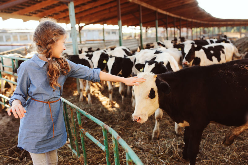 Girl touching calf in farm