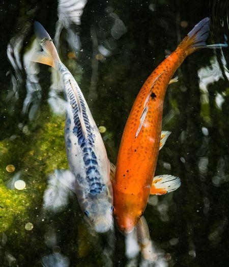 Koi Fish Animal