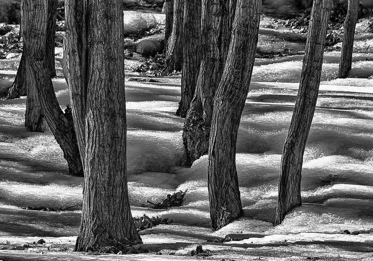 Snow and lines.. Tree Trunk Forest EyeEmBestPics Snow Snow Covered Tree Nature Nature_collection Nature Photography Blackandwhite Black And White Blackandwhite Photography Bnw Black & White Black And White Photography Getty Images EyeEm Best Shots EyeEm Nature Lover EyeEm Gallery EyeEm Best Shots - Nature EyeEm Best Shots - Black + White Abstract Abstract Photography Fine Art Photography Finding New Frontiers