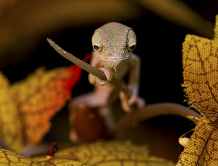 the protector and last samurai, this little baby veiled chameleon is only 1 week old and measuring 5cm , and such a little character already #chameleon Animal Animal Themes Babychameoleon Babylizard Chameleons Close-up Focus On Foreground Lizard Nature No People One Animal Reptile Samurai Selective Focus Veiled Chameleon