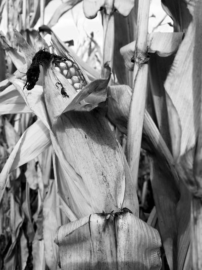 Corn Cornfield Blackandwhite Blackandwhite Photography Fall Season Fall Beauty Growth growth Outdoors Agriculture Close-up Leaf Day Nature Cereal Plant No People