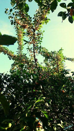 Berries Berrytime Mirabellen  In The Garden Gardentime