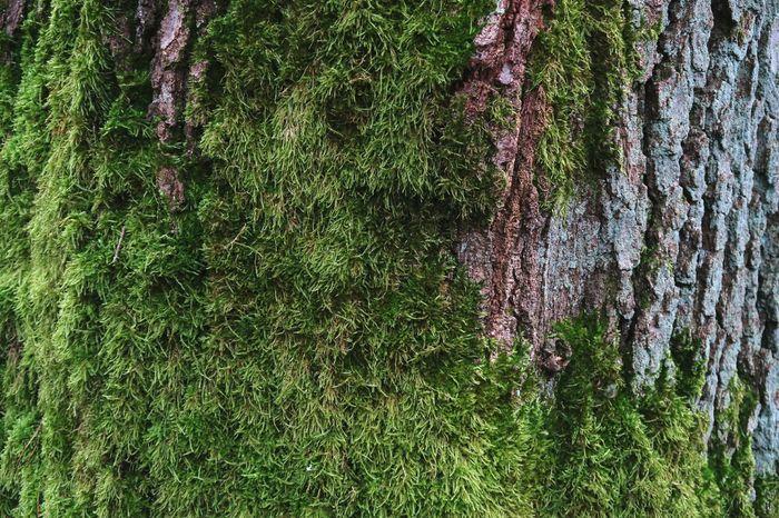oak bark half overgrown with moss Bark Texture Oak Bark Oaktree Natural Backgroud Background Photography Textured  Texture Mossy Oaks Mossy Moss & Lichen Textures In Nature Bark Oaks Moss