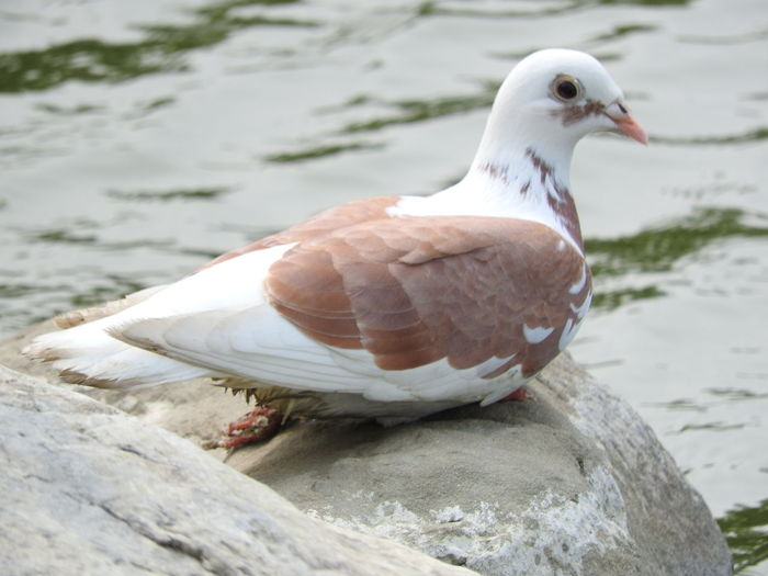 Dove perching on rock against lake