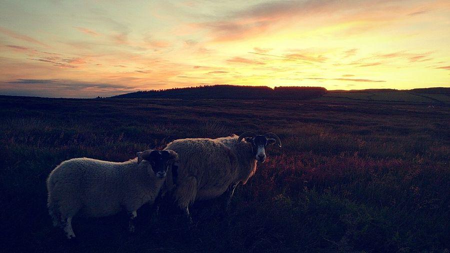 sheepset Sunset Landscape Outdoors Nature Scenics Sheep Beautiful Beauty In Nature Orange Sky Clouds Light Skyscape