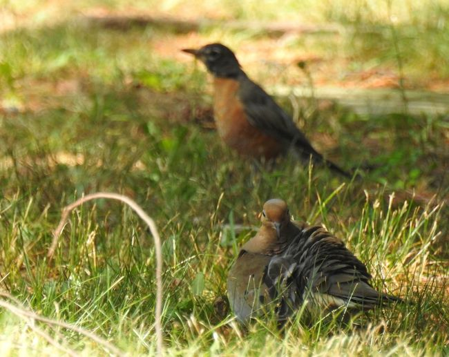 The Robin and the Mourning Dove 2 Birds Grass Mourning Doves Nature Nature Photography Shaded Wildlife & Nature Wildlife Photography Bird Watching Birds Birds On The Grass Birds_collection Dappled Sunlight Dove Mourning Dove Nature_collection Ornithology  Robin Robin Redbreast Robins Two Animals Two Birds
