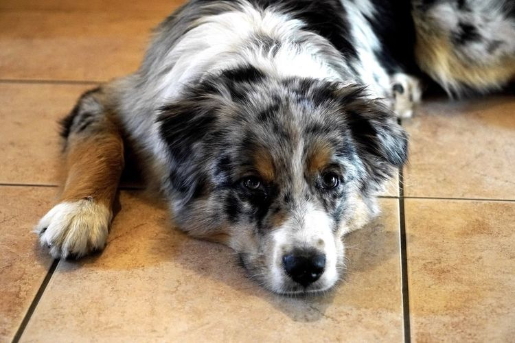 High angle view of australian shepherd lying on tiled flooring at home