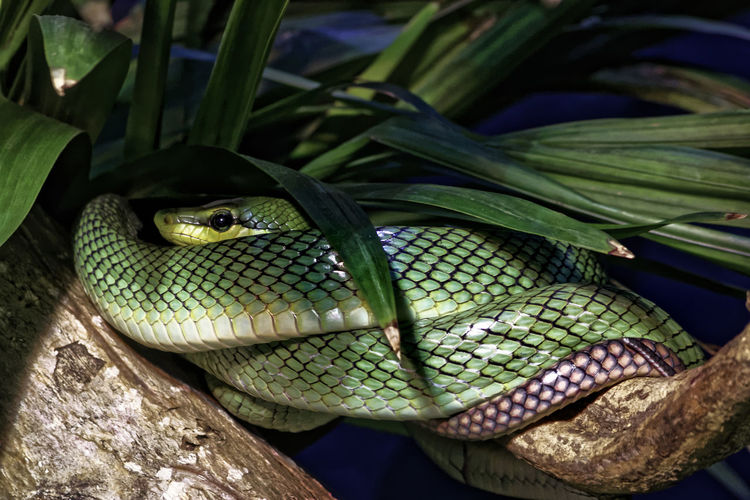 Close-up of red tailed green rat snake