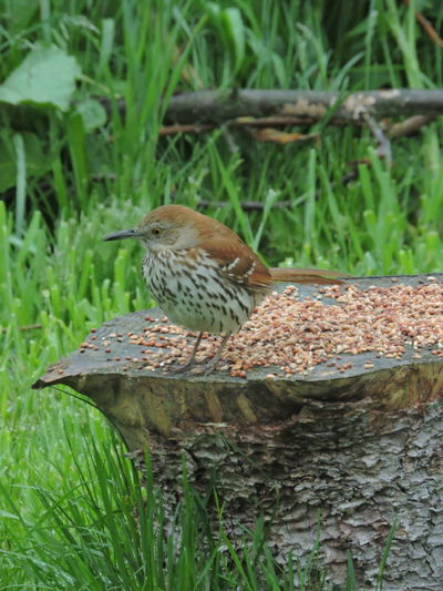 Brown Thrasher Animal Wildlife Animals In The Wild Animal Themes Animal Bird Vertebrate One Animal Plant Perching Nature Day No People Green Color Focus On Foreground Tree Close-up Grass Outdoors Sparrow Growth