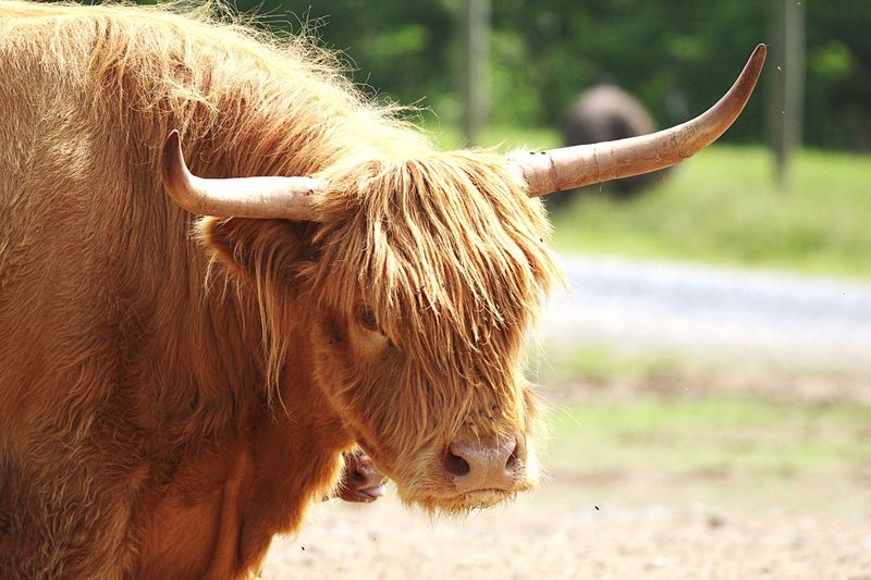 Scottish Cattle Long Hair Horns Large Animal Lake Tobias Zoo EyeEm Best Shots Summertime Mammal Animal Themes Animal One Animal Animal Wildlife Domestic Animals Livestock Vertebrate Focus On Foreground Nature No People Day Brown Herbivorous Land Animal Body Part Field