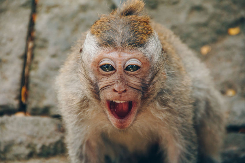 Animal Themes Animal Wildlife Animals In The Wild Close-up Day Focus On Foreground Looking At Camera Mammal Monkey Mouth Open Nature No People One Animal Outdoors Portrait Fresh On Market 2017