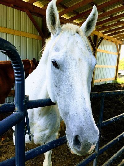 Uncle Bill's White Horse Barn Animals White Horse Portrait White Horse Horse One Animal Animal Themes Domestic Animals Day Mammal Animal Head  Close-up
