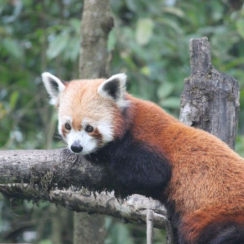 Red Panda Relaxing On Wood