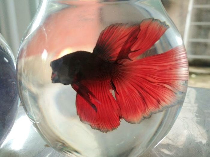 Betta Animal Themes One Animal Animal Indoors  Vertebrate Fish Close-up No People Nature Glass - Material Red Pets Swimming Animals In The Wild Water Animal Wildlife Domestic Multi Colored Marine Bettasplendens Betta Splendens Bettafishcommunity Betta Fish Fish Tank Animals In Captivity