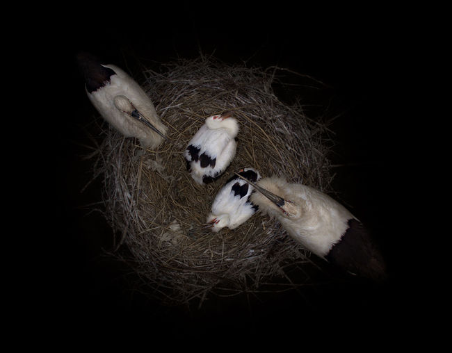 Directly above shot of white stork birds in nest at night