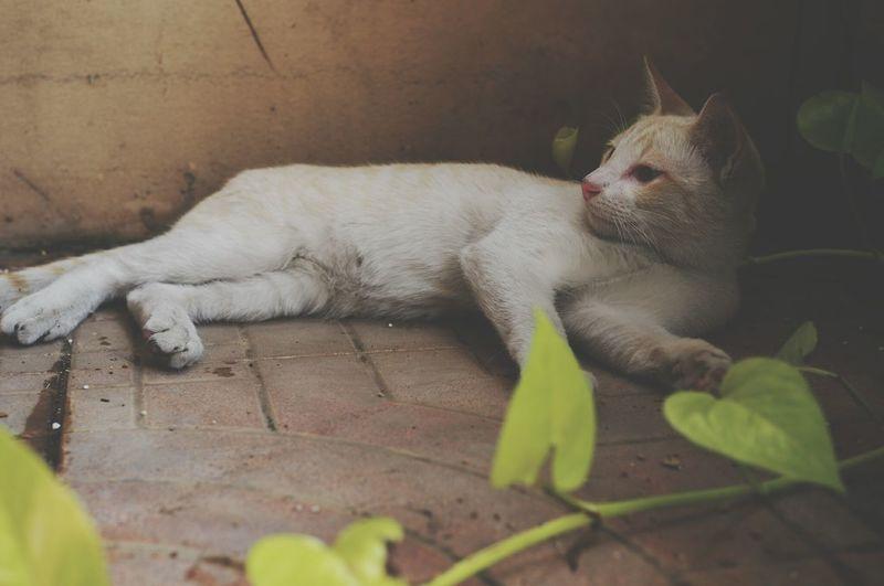 Nong Nuan Siamese Cat Siamesecat Siamesecats Siamese Kitten Siamese