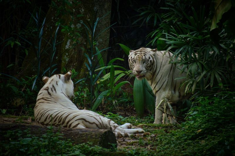 White tiger relaxing in a forest